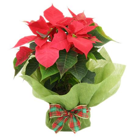 poinsettia-plant-christmas-gift